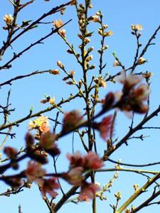 peach-blossoms2-easter-2008.jpg