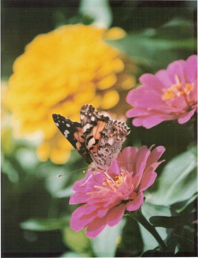 butterfly-w-zinnias-blog.jpg