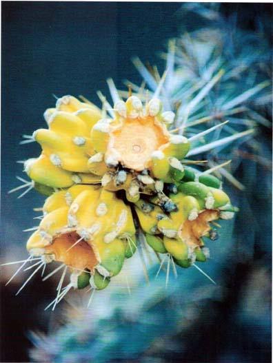 cactus-pod.JPG