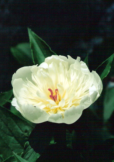 cream-flower-at-huntington-blog.jpg
