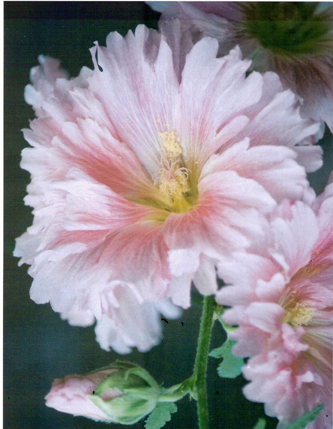 hollyhock-blog.jpg