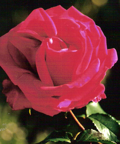 the-rose-san-luis-obispo-mission-blog.jpg