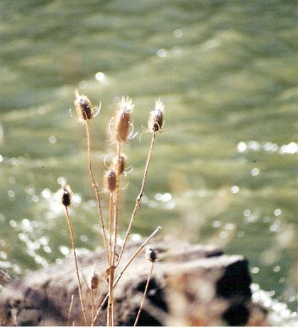 cattails-wordless-wednesday-10-29-08-blog.jpg
