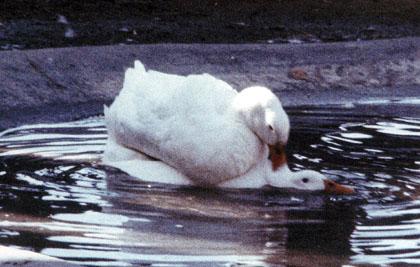 rio-grande-ducks.JPG