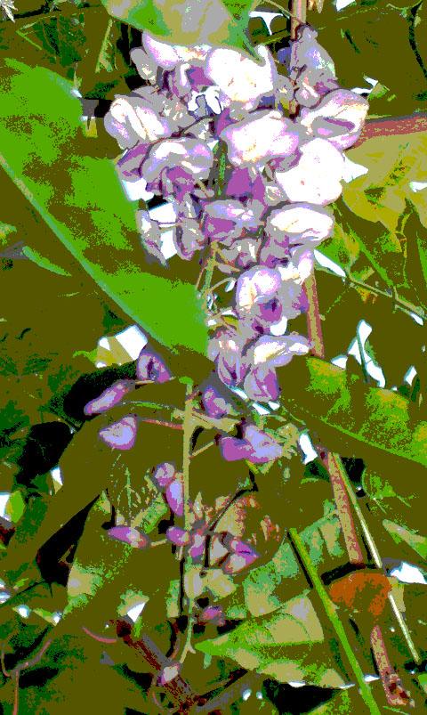 wisteria-posterized-4-29-09.jpg