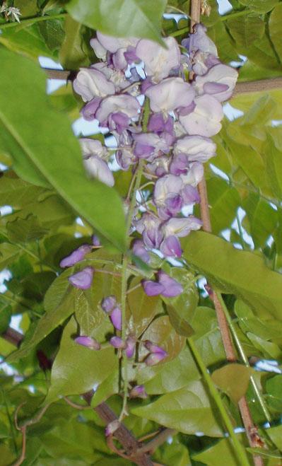 wisteria1-4-29-09.jpg