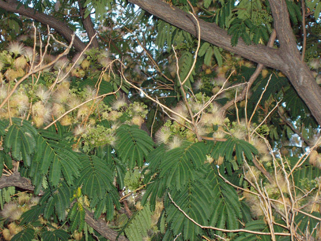 mimosa-branch-6-21-09.jpg