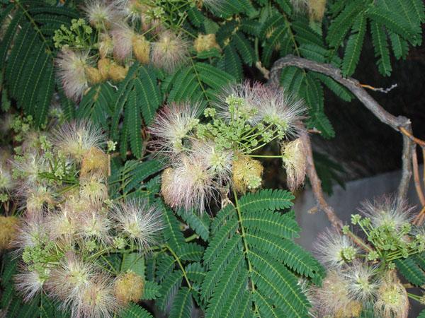 mimosa-cluster-6-21-09.jpg