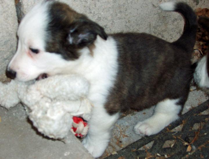 Watson stole a big dog toy 11-4-09