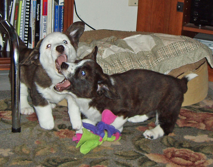 puppy fight 11-20-09
