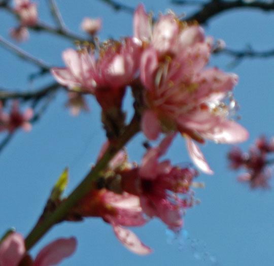 Peach Blossom 4-3-2010