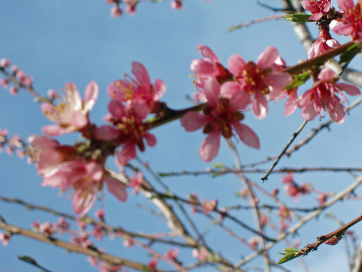 Peach Blossom spray1 4-3-2010