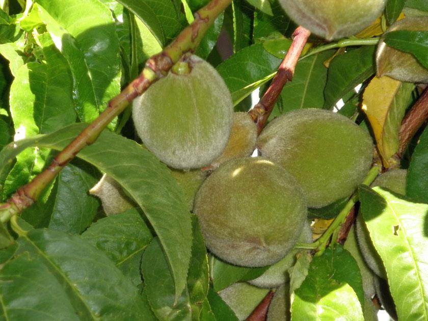 Baby peaches 5-31-2010