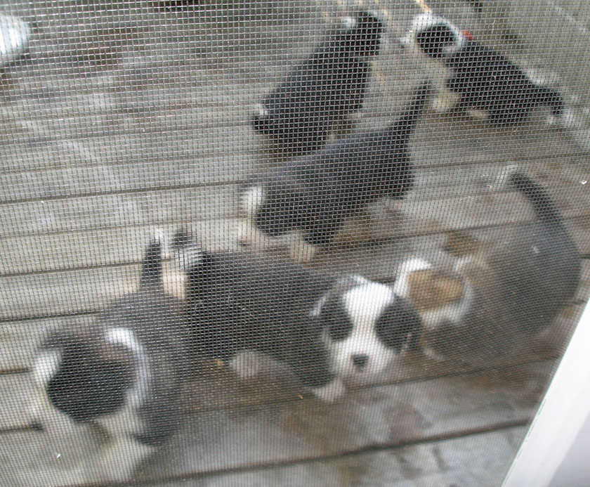 Through the screen - puppies outside 5-14-2010
