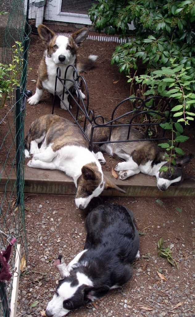 Luc guarding the puppies 7-28-2010