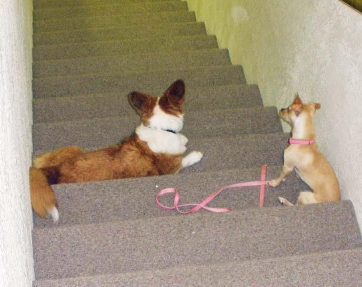 Cardi and Chihuahua 9-23-2010