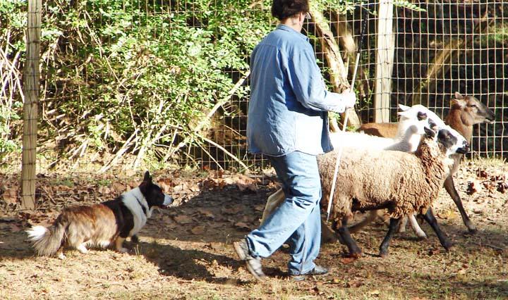 Moving sheep HT leg2 blog 10-10-2010