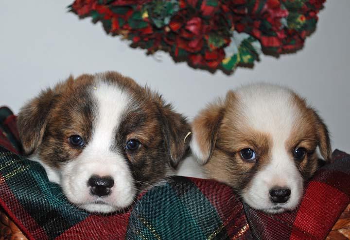 Reba-Victor Christmas Pups blog