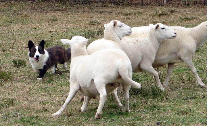 Wolfdog makes sheep obey blog 11-13-2010