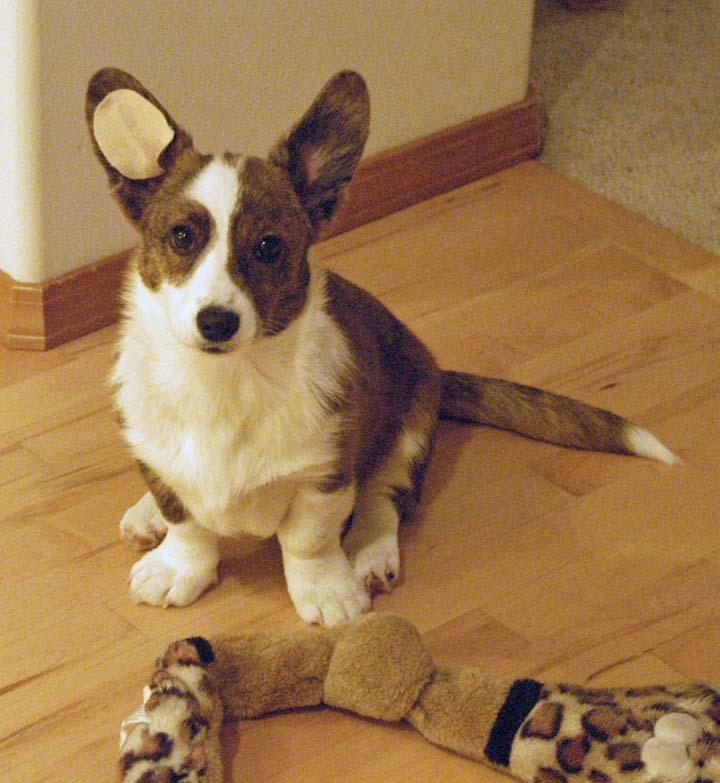 Dog Ear Taping How Long