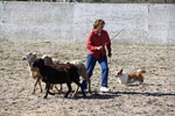 Nola herding2 4-15-12 larger