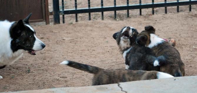 Puppy wrestling 8-30-13