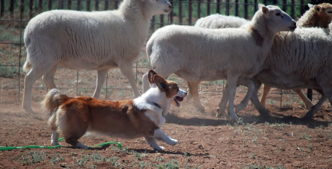 Copper moving her sheep1 3-29-14