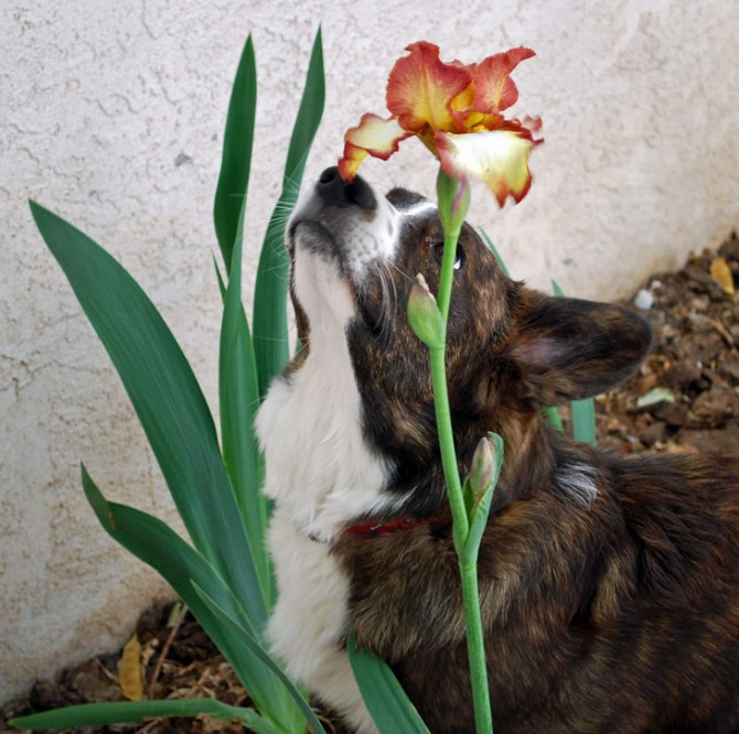 Holmes Smelling the Iris - blog - 5-4-2010