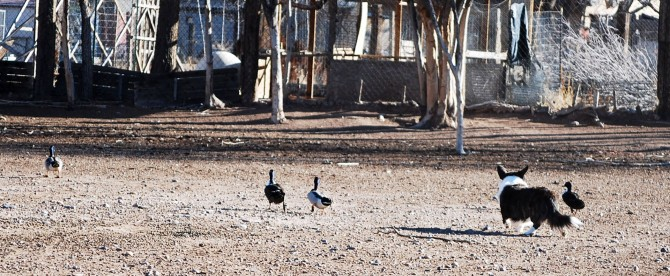 Duck Directing 1-18-15 blog