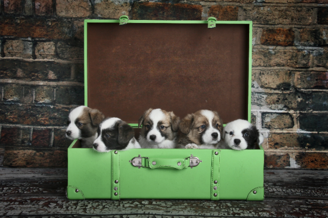 Suitcase puppies