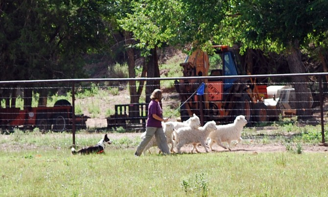 Addie pushing goats 7-12-15