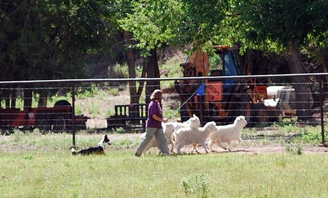 Addie pushing goats 7-12-15