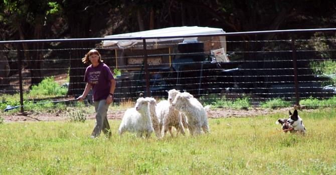 Addie turning goats 7-12-15