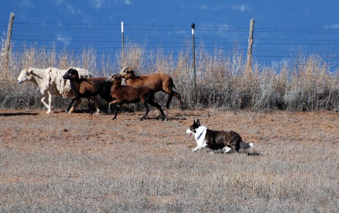 1-31-16 Chase herding by Pam