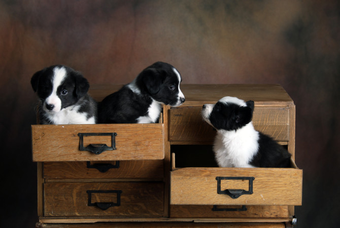 3 puppies in drawers 6-16-17